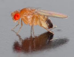 Study of fruit fly chromosomes improves understanding of evolution, fertility