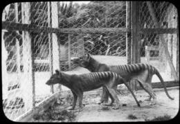 Tasmanian tiger suffered low genomic diversity