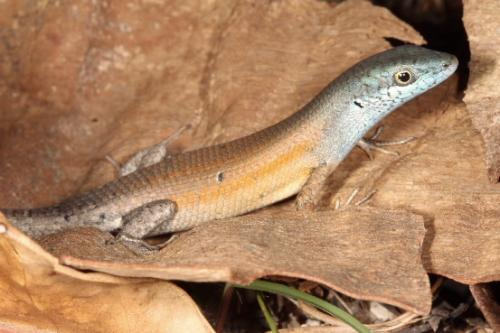 Two new lizards discovered in Townsville area