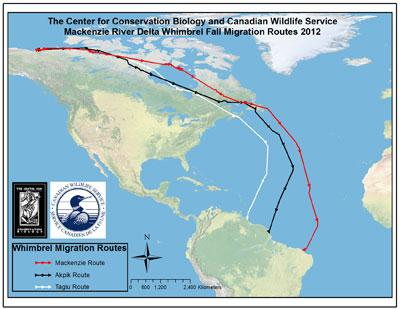 Scientists identify previously unknown Whimbrel migration pathway over open Atlantic Ocean