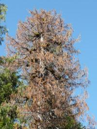 Yellow-cedar are dying in Alaska: Scientists now know why