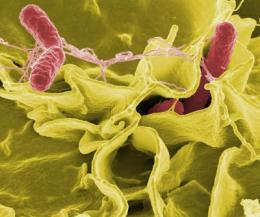 Researchers find a way to detect stealthy, 'hypervirulent' Salmonella strains