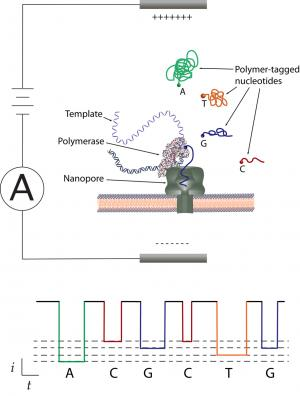 Engineers collaborate on inexpensive DNA sequencing method