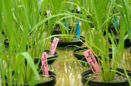Study reveals good news about the GI of rice