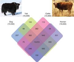 Researchers uncover Yak genes responsible for their altitude tolerance