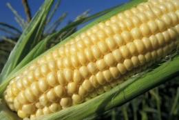 Climate change may create price volatility in the corn market, say Stanford and Purdue researchers
