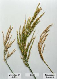 Researchers identify sterility genes in hybrid rice