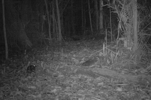 Researchers film rare striped rabbit in Sumatra (w/ Video)