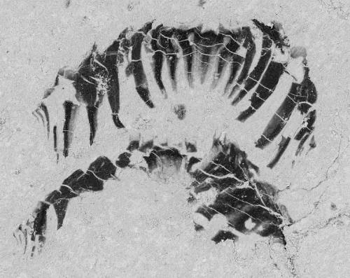 Ancient fossils reveal how the mollusc got its teeth