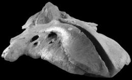 Ancient whale species sheds new light on its modern relatives