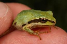 Common North American frog identified as carrier of deadly amphibian disease