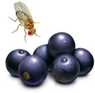 For a long and fruitful life, consult fruit flies