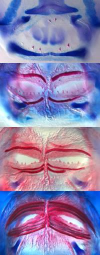 How the pufferfish got its beak