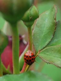 Invasive alien predator causes rapid declines of European ladybirds