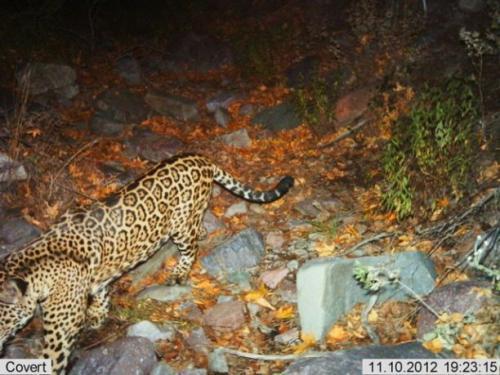 Wildlife Monitoring Cameras Click Jaguar and Ocelot Photos
