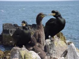 Scientists develop novel method to study parasite numbers in wild seabirds