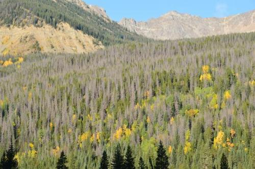 2001-2002 drought helped propel mountain pine beetle epidemic, says CU study
