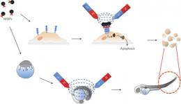 Researchers use magnets to cause programmed cancer cell deaths