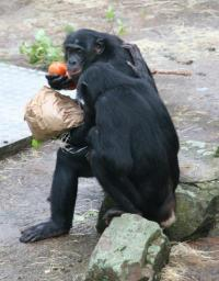 Anthropologist studies reciprocity among chimpanzees and bonobos