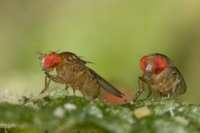 Evolutionary capacity of many fruit fly species will lag behind pace of climate change, researchers say