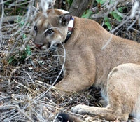 Wildlife forensics team reveals mountain lions' struggle to survive near L.A.