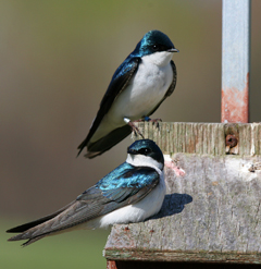 Researchers study parenting behaviors of stressed-out birds