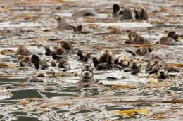 Study shows how sea otters can reduce CO2 in the atmosphere