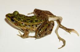 Environmental concerns increasing infectious disease in amphibians, other animals