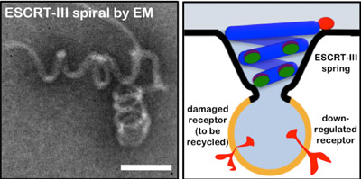 Study shows how cells form 'trash bags' for recycling waste
