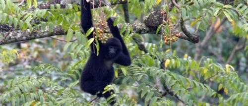 Research findings offer a glimmer of hope for one of the world's rarest primates