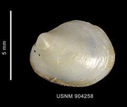 Research team finds mollusk changes gender as it ages