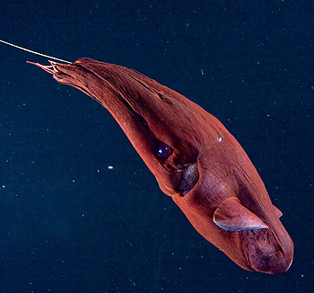 Researchers discover what vampire squids eat: It's not what you think (Update)