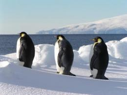 Emperor penguins use sea ice to rest between long foraging periods