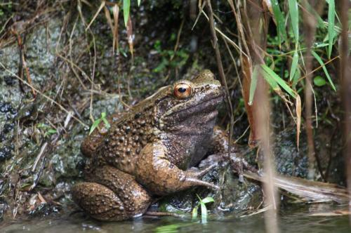 How flick knife thumbs help Japan's rare fighting frogs
