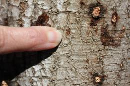 Beetle-fungus disease threatens crops and landscape trees in Southern California