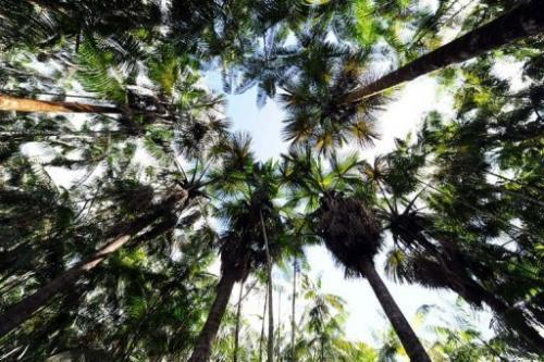 Acai trees in a reforested area on Brazilian farmer Manoel Jose Leite's land in Anapu