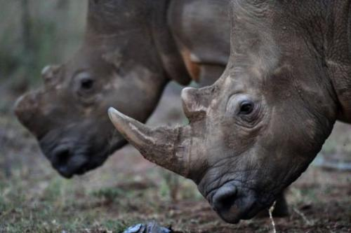 A conservation success story, South Africa is home to 70 to 80 percent of the world's rhinos