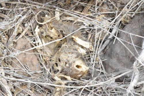 A dead rat on December 8, 2012 in Pinzon Island