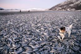 A dog walk around on tons of dead herring on a beach in at Kvaenes in Nordreisa, northern Norway