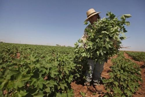 A farmworker culls cotton plants growing between rows on a farm in Texas