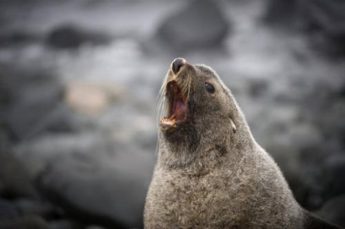 A fur seal, pictured in Antarctica in 2008