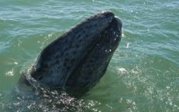 A grey whale calf emerges from the water in 2010