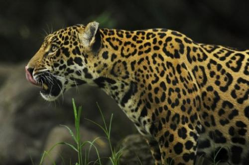 A jaguar is seen in a zoo in San Salvador