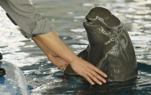 A keeper playing with an endangered finless porpoise in Wuhan Baji Aquarium in China's central Hubei province