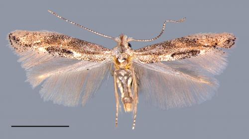 American Oak Skeletonizer moth invades Europe