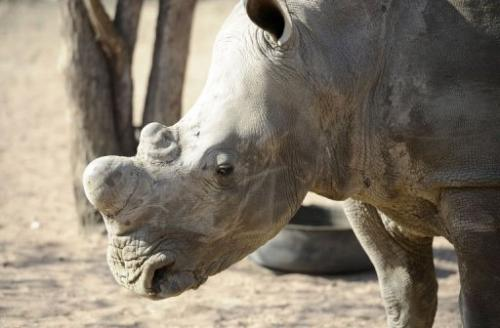 An adult white rhino looks on at the Entabeni Safari Conservancy in Limpopo