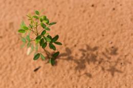 A native plant sprouts from the soil of the Cerrada plains in Chapada dos Guimaraes, Mato Grosso state