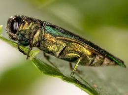 An economic analysis of Emerald Ash Borer management options