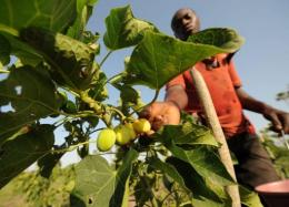 An employee harvests jatropha fruits
