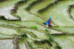 A Nepalese farmer walks past rice paddy fields at Khokana village on the outskirts of Kathmandu